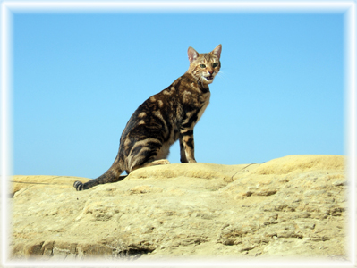 Bengal cat having a day at the beach